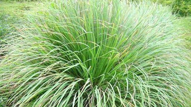 Cây sả trồng xung quanh nhà giúp xua đuổi muỗi và côn trùng. Ảnh: java.