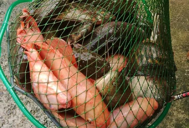 Mỗi ngày cần thủ bắt được hàng trăm kg cá.