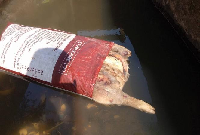 Lợn chết hôi thối được bọc sơ sài trong bao bì đựng thức ăn gia súc trôi dạt về thôn Vĩnh Mới, xã Thạch Tiến.