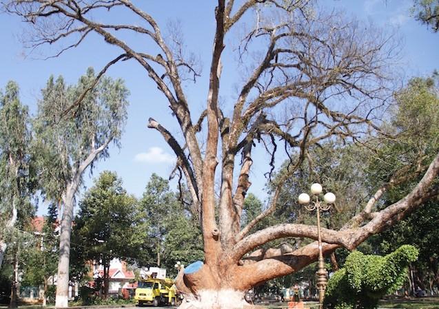Nhiều cành của cây long não chết khô