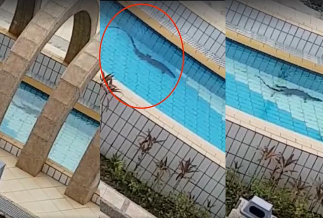 Hoảng hồn thấy kì đà dài 1m bơi lững lờ trong công viên nước