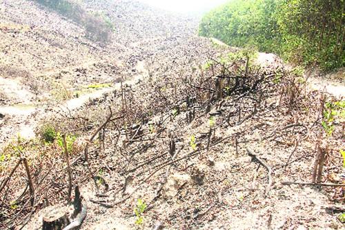 Nhiều diện tích rừng trồng sau thu hoạch ở xã Phú Sơn đã được trồng cây keo.