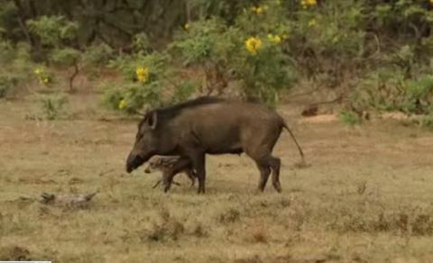 Lợn rừng húc bay báo châu Phi để cứu con