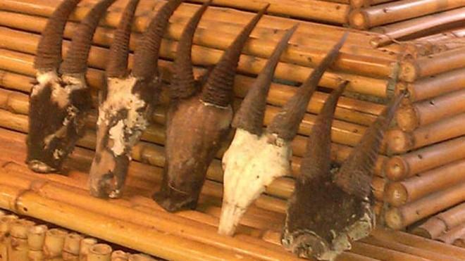 Năm Dê, dân chơi hăng hái săn lùng… linh dương giác!