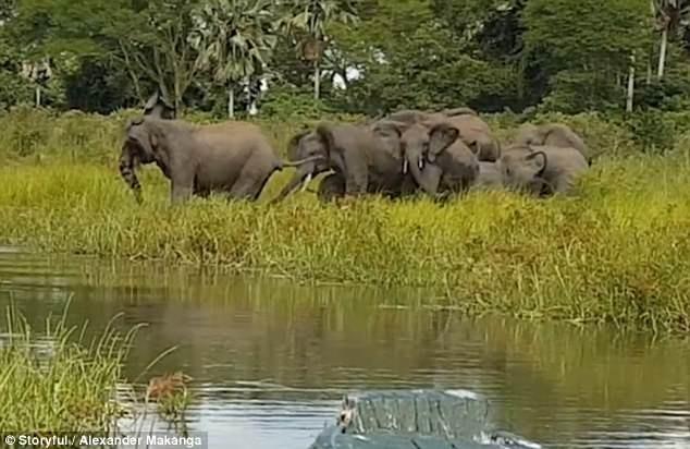 Đàn voi uống nước bên hồ thì bất ngờ bị cá sấu tấn công.