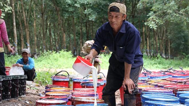 Công nhân Việt Nam trên nông trường cao su của Hoàng Anh Gia Lai tại Lào