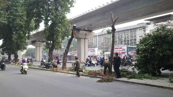 Tiếp tục chặt hạ nhiều cây xà cừ trên đường Nguyễn Trãi - Trần Phú. Ảnh: Thanh Hà.