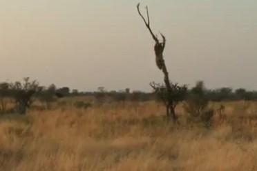 Báo dữ phi thân từ trên cây, tấn công đoàn làm phim