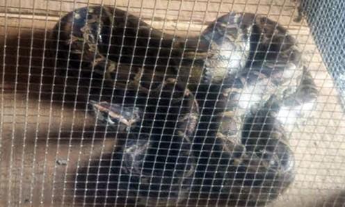 Con trăn cái 30 kg được ông Phước bỏ vào chuồng nuôi. Ảnh: Hoàng Nam/VnExpress