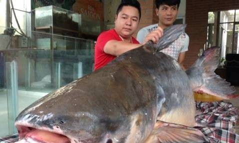 Con cá tra dầu nặng 140kg vừa được đưa về Hà Nội.