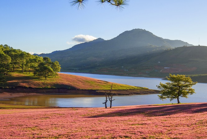 Đồi cỏ hồng đẹp như tranh ở Đà Lạt.