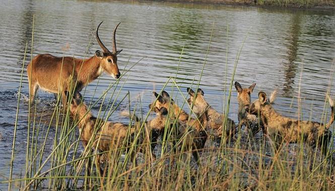 Con linh dương đồng cỏ bị truy đuổi bởi cả bầy 24 con chó hoang trong buổi sáng tại một khu bảo tồn ở Botswana.