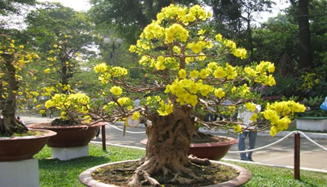 Mai bonsai dáng thế đẹp, hoa nở đều đẹp.