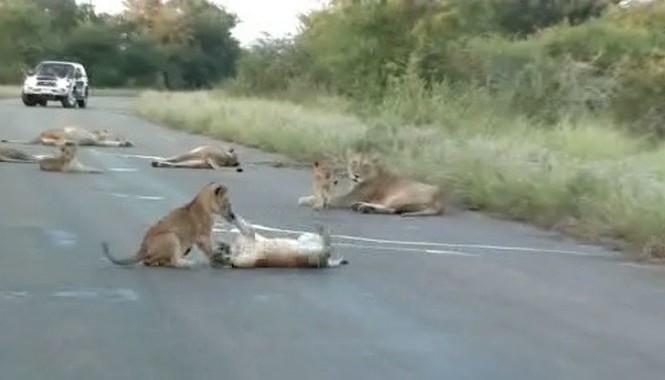 Sư tử bố, mẹ đã dẫn đàn con của mình tràn ra con đường chạy ngang qua vườn quốc gia Kruger, Nam Phi để ngủ.