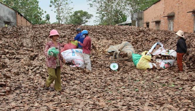 Điểm thu mua của bà Thu, ấp 5, xã Gia Canh mỗi ngày mua khoảng một tấn lá. Ảnh: Hoàng Trường/ VnExpress