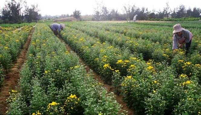 Người trồng hoa Tết ở Tây Tựu, Hà Nội: 'Đánh bạc' với thời tiết