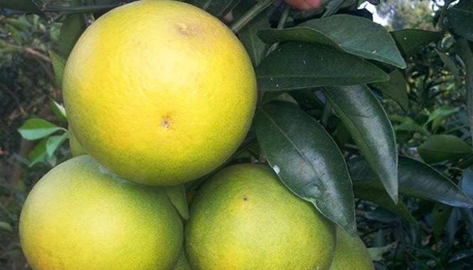 Cam Cao Phong hay còn gọi là cam lòng vàng vỏ mỏng, tép cam mọng nước, ăn ngọt dịu. Đặc biệt là cam có màu vàng nhạt, khi bóc ra có màu đặc trưng, quả tròn đều. Ảnh: Tú Anh.