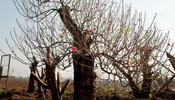 """Nhiều chủ buôn cây cảnh thường có kiểu """"giải vía"""" cho cây để thuận lợi trong việc bán hoặc cho thuê."""