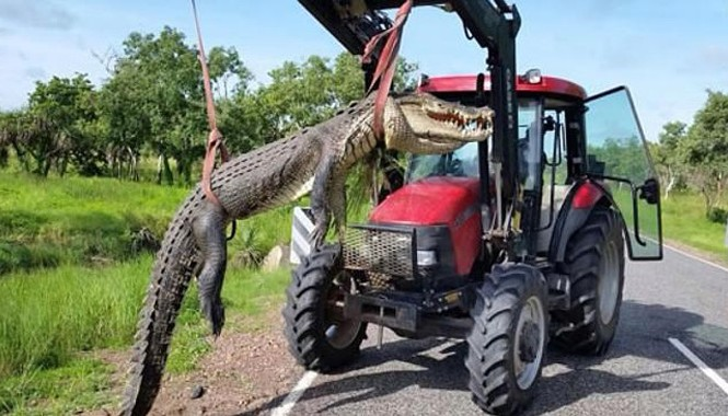 Con cá sấu bị bắn hạ. Nguồn: Parks Australia.