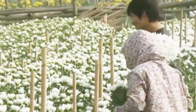 Hà Nội: Nông dân nhổ bỏ hoa cúc vì rớt giá thảm hại