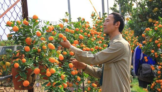 Ông Mạnh đang chăm sóc vườn quất bonsai của mình. Ảnh: Ngọc Lan.