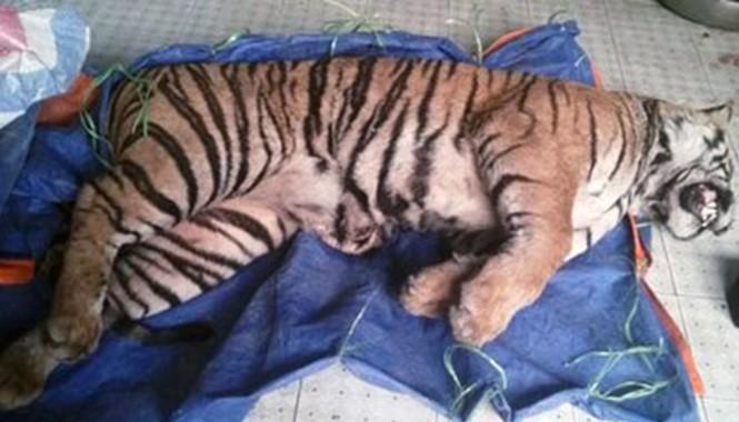Xác con hổ thu giữ tại nhà của đối tượng Nguyễn Thị Nhượng. Ảnh Văn Dũng.