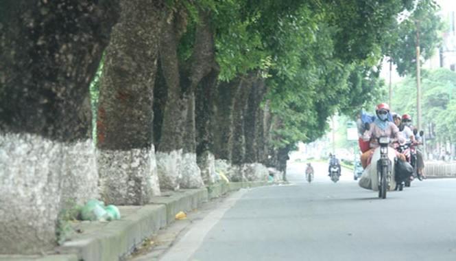 Lãnh đạo Sở Xây dựng cho hay, xà cừ không phải là cây xanh đô thị, thành phố Hà Nội sẽ dần chặt hạ thay thế loại cây này. Ảnh: Võ Hải.