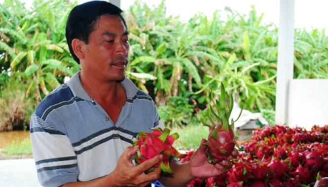 Thanh long trồng ở U Minh Hạ của gia đình ông Phước có chất lượng khá cao.