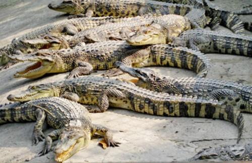 Giá cá sấu ở miền Tây đang xuống thấp nhất trong vòng 6 năm gần đây khiến người nuôi lao đao. Ảnh: Phúc Hưng.