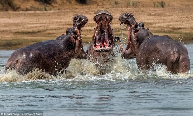 Kanwar Deep Juneja, nhiếp ảnh gia đến từ New Delhi, Ấn Độ, chụp được bộ ảnh ba con hà mã đang đánh nhau để tranh giành lãnh thổ ở sông Luangwa, Zambia, Express hôm 4/10 đưa tin. Ảnh: Kanwar Deep Juneja.