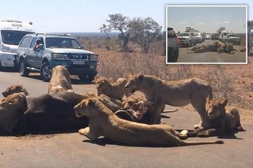 """Du khách tham quan vườn quốc gia dường như không thể di chuyển tiếp vì """"bữa tiệc"""" của bầy sư tử trên đường. Ảnh: Youtube."""