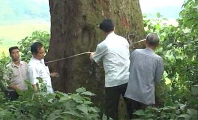 Cây lim hơn 1000 năm tuổi ở Bắc Giang.