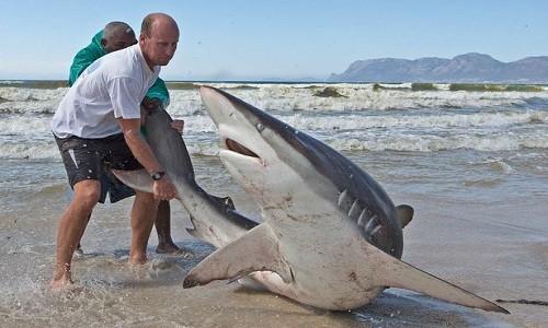 Hai nhiếp ảnh gia địa phương Chris và Monique Fallows chụp được cảnh các ngư dân đang cố gắng thả tự do cho con cá mập voi bị bắt trong lưới đánh cá của họ ở biển Muizenberg, thành phố Cape Town, Nam Phi, Mirror hôm 12/10 đưa tin.
