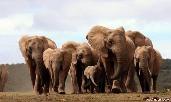 Số lượng voi châu Phi không ngà ngày càng tăng.