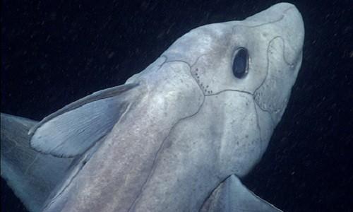 Chimaera  có mối liên hệ với loài cá cổ đại giống cá mập ở Đại Cổ sinh. Ảnh: MBARI.