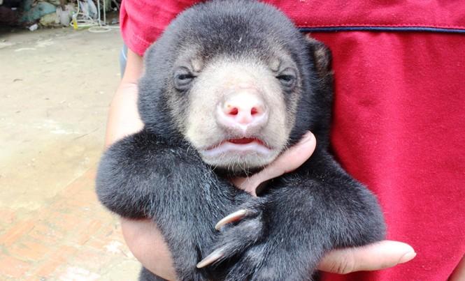 Một cá thể gấu chó con được kiểm lâm Sơn La giải thoát khỏi tay nhóm buôn lậu.