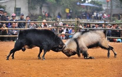 Dê đực thường là con đầu đàn, rất lỳ đòn, chẳng mấy khi bỏ chạy sớm như trâu chọi nên màn thi đấu nào cũng căng thẳng, hấp dẫn