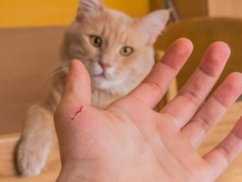 Bị mèo cào xước tay có nên chích ngừa dại?