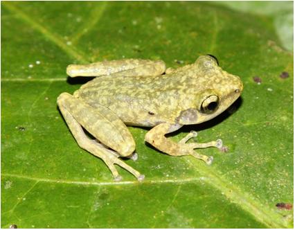 Loài ếch mới được phát hiện ở tỉnh Hòa Bình.