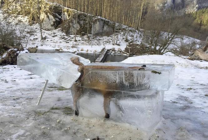 Con cáo đông thành đá.