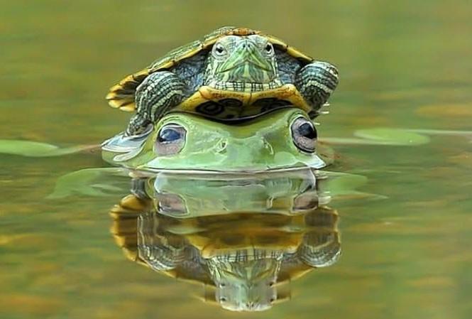 Dù tốc độ bơi dưới nước không chậm như đi bộ trên cạn, con rùa này vẫn thích được ếch xanh cõng qua sông ở Padang, Indonesia. Ảnh: Riau Images