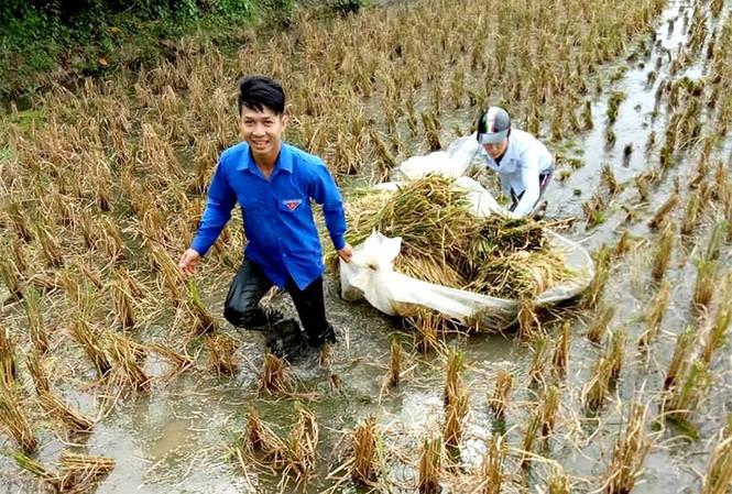 Đoàn Thanh niên TP Hải Phòng đã tích cực tham gia giúp dân thu hoạch những diện tích lúa mùa