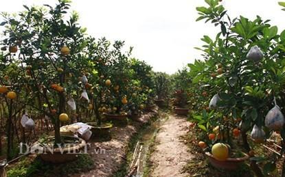 Vườn cây 'ngũ-thất-cửu quả' độc nhất vô nhị giữa Thủ đô - ảnh 9