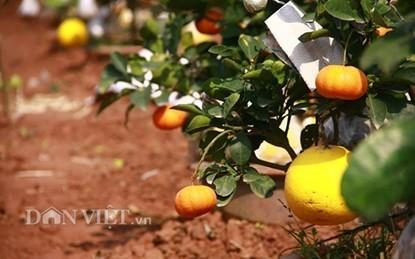 Vườn cây 'ngũ-thất-cửu quả' độc nhất vô nhị giữa Thủ đô - ảnh 10
