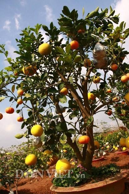 Vườn cây 'ngũ-thất-cửu quả' độc nhất vô nhị giữa Thủ đô - ảnh 11