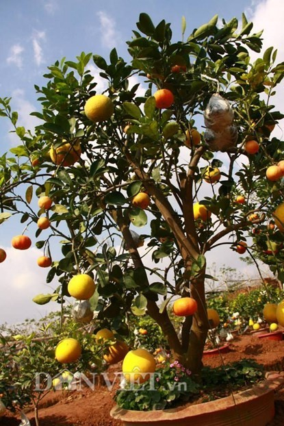 Vườn cây 'ngũ-thất-cửu quả' độc nhất vô nhị giữa Thủ đô - ảnh 12
