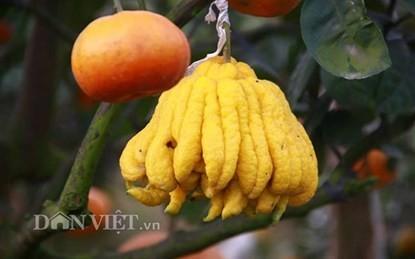 Vườn cây 'ngũ-thất-cửu quả' độc nhất vô nhị giữa Thủ đô - ảnh 13