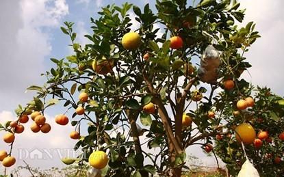 Vườn cây 'ngũ-thất-cửu quả' độc nhất vô nhị giữa Thủ đô - ảnh 1