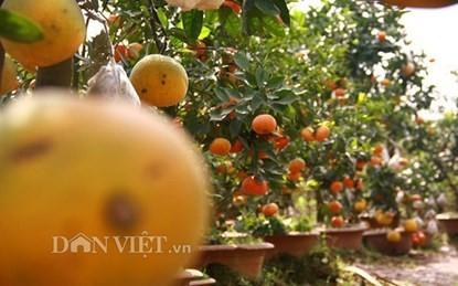 Vườn cây 'ngũ-thất-cửu quả' độc nhất vô nhị giữa Thủ đô - ảnh 3