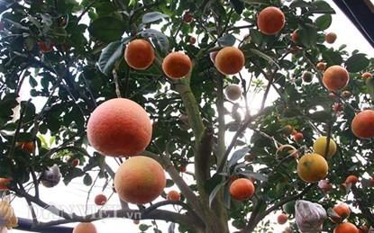 Vườn cây 'ngũ-thất-cửu quả' độc nhất vô nhị giữa Thủ đô - ảnh 4